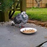 Bed and Breakfast in Eccleshall: Homeless Homing Pigeon