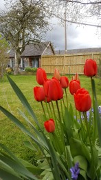 Bed and Breakfast in Eccleshall: Beautiful Tulips